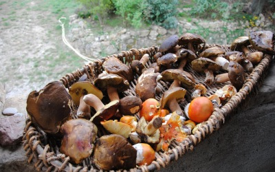 Ceps and caesar mushroom the most prized wild mushrooms